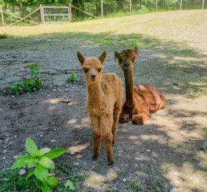 adorable alpaca cria