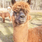 Graduation video cards from an alpaca