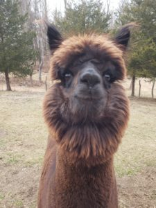 Video Mother's Day Card From An Alpaca