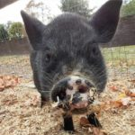 Gizmo the vietnamese pot belly pig