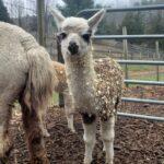 Abigail the alpaca cria