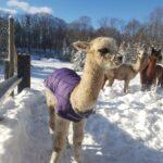 Sabrina the cute alpaca