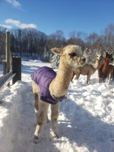 Sabrina the cute alpaca
