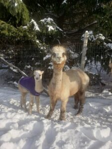 Elsie and Sabina - alpacas near NYC