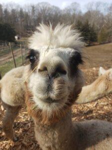 Elsie the grey alpaca