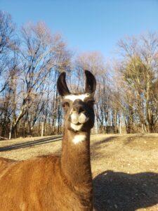 Ducky the llama near NYC