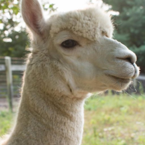 Digby the alpaca