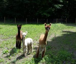 Cute alpacas near NYC