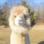 Gabriel the cute alpaca