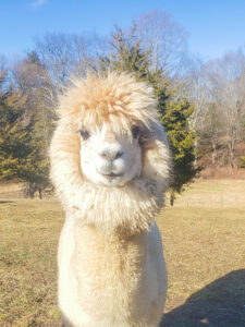 Gabriel the cute alpaca