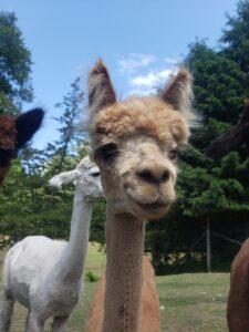 Melina the alpaca shorn