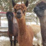 Fluffy alpaca, Mardi Gras