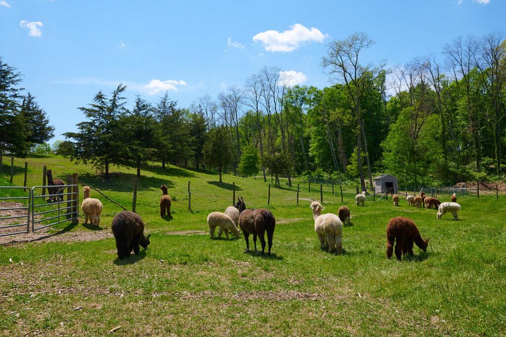 alpacas in a field in the Hudson Valley