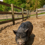 Gizmo the vietnamese pot belly pig