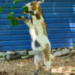 Velma the nigerian dwarf goat