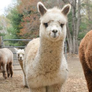 Sabrina the alpaca cria