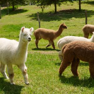 Huarizo (alpaca and llama cross in a field at Lilymoore farm