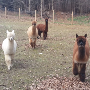 adorable alpacas that started Lilymoore Farm