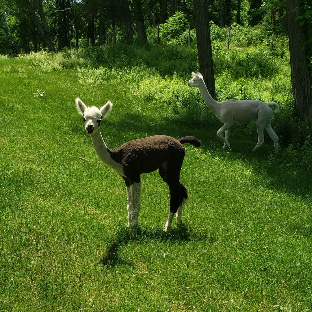 Abigail the huarizo (alpaca/llama cross)