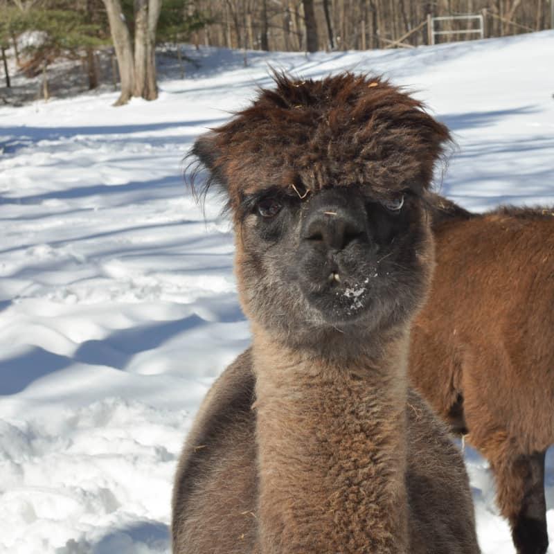 Buena Fe the alpaca