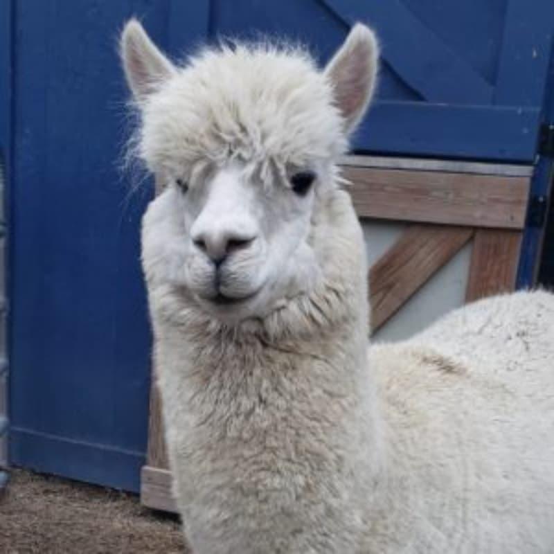 Digby the alpaca