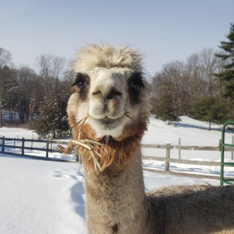 Elsie the alpaca
