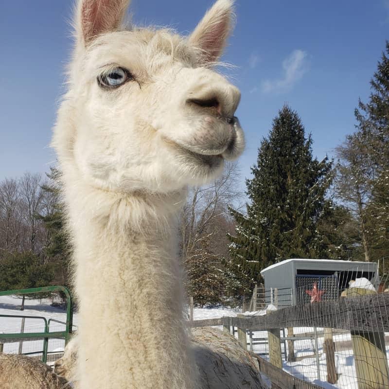 Frankie the Huaizo (llama-alpaca mix)