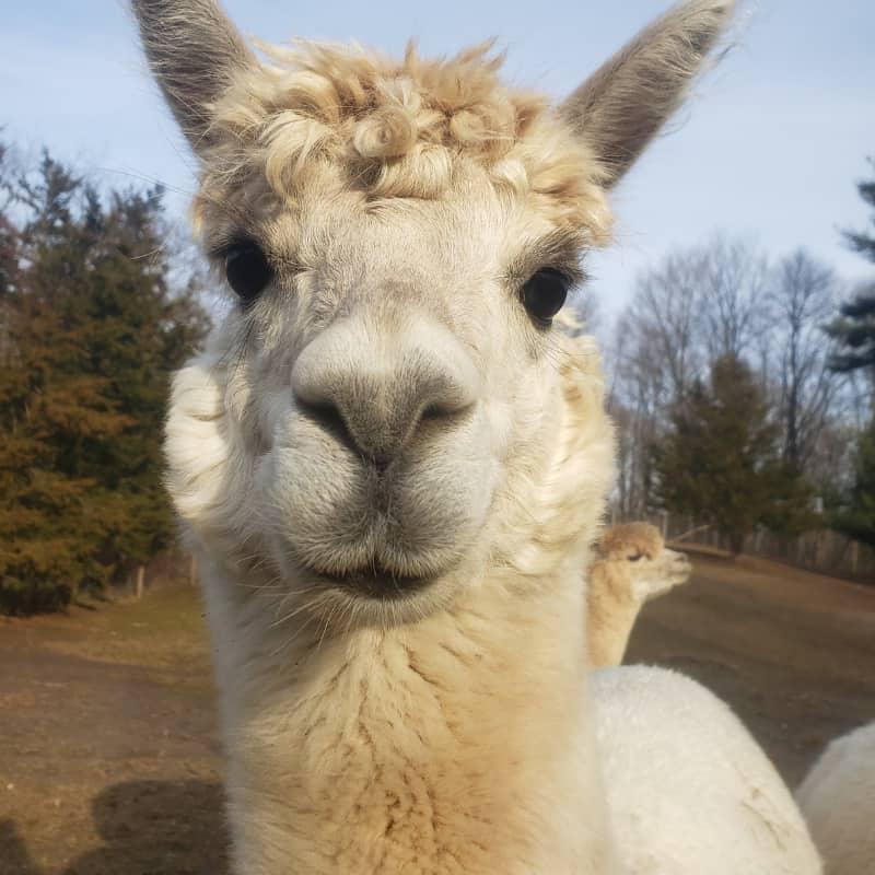 Lady valentina von sparkles the alpaca