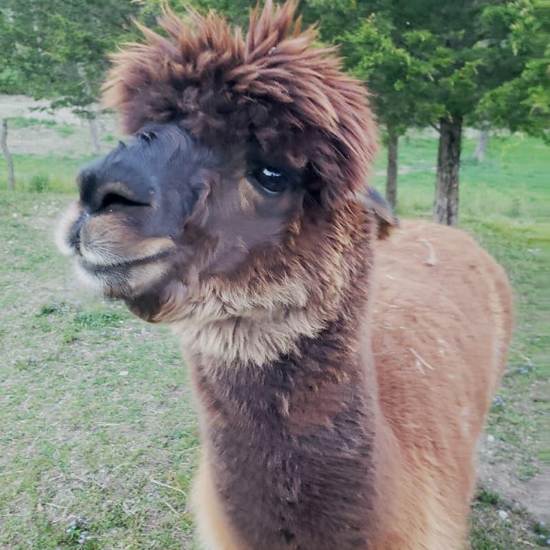Oorah the alpaca