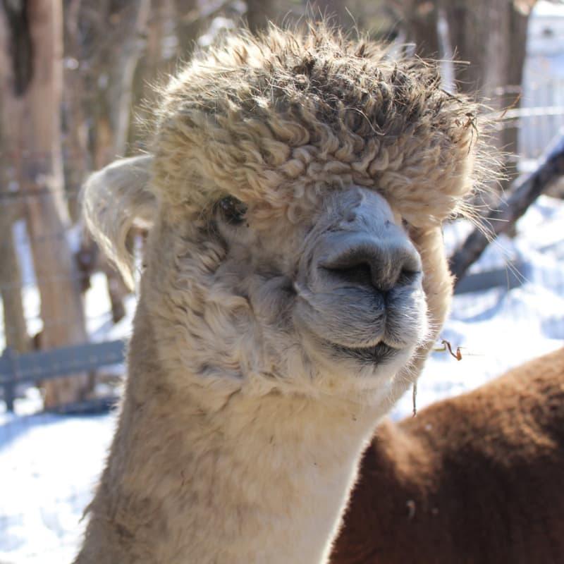 Tessa the alpaca