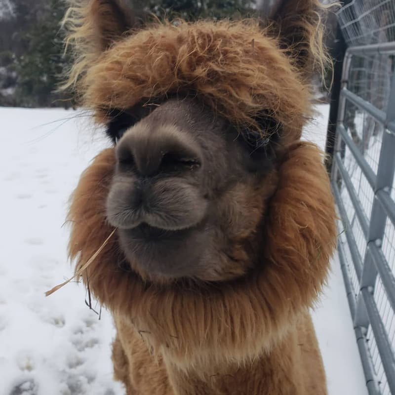 Zane the alpaca