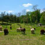 alpaca field