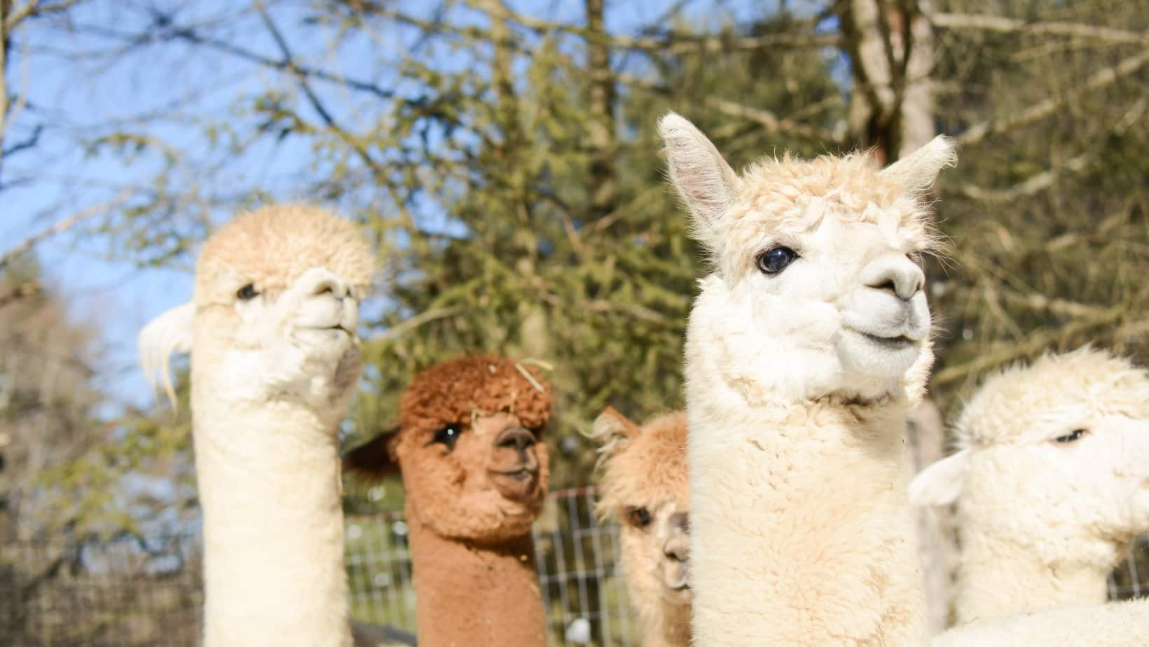 Adorable alpacas at Lilymoore Farm in the Hudson Valley